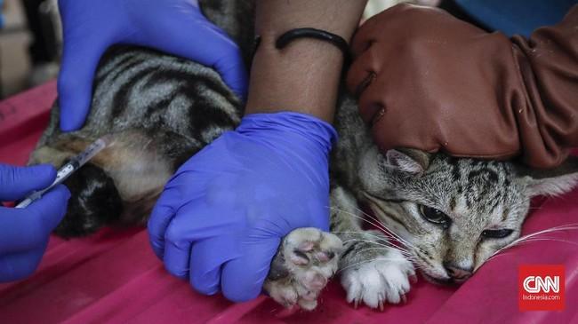 Setiap kucing dibius sebelum menjalani operasi sterilisasi. CNNIndomesia/Safir Makki