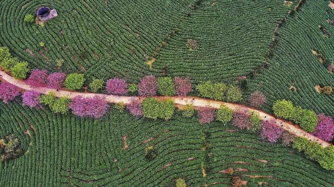 Foto udara dari perkebunan teh di Zhangping di provinsi Fujian di China bagian timur. (STR/AFP/China OUT)