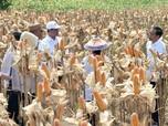 Wow, Impor Jagung dari Thailand Ternyata Paling Mahal