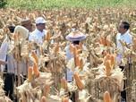 Jokowi Saksikan Langsung Panen Raya Jagung di Gorontalo