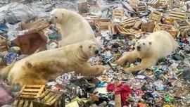 Alam Dirusak Manusia, Beruang Kutub Terpaksa Makan Sampah