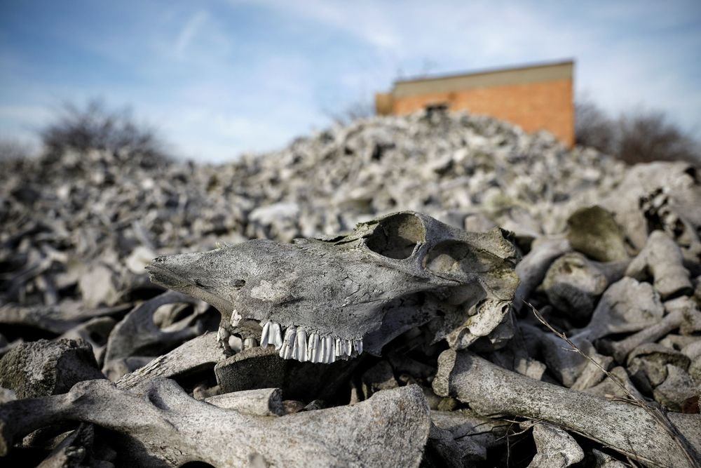 Ditemukan tumpukan tulang sapi terbengkalai dan berbau busuk sepanjang sepuluh kilometer, di pinggiran Beograd, Serbia.