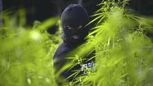 Ada 25 Pohon Ganja di Gunung Guntur, Polisi Buka Penyelidikan