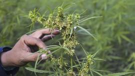 Ganja Berikan Harapan Baru untuk Kesembuhan Pecandu Heroin