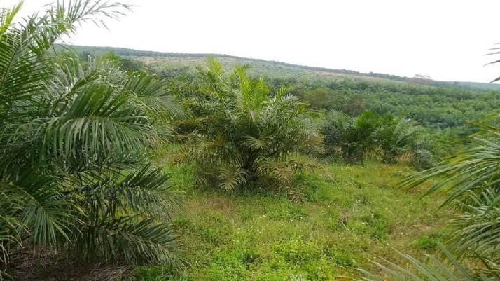 Punya Lahan 54 Hektar, Petani Sawit Masih Terbelit Utang