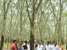 Harga Karet Dunia Turun Terus, Jokowi Turun Tangan