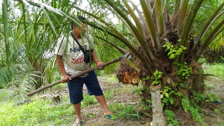 Stok Sawit Malaysia Berlebih, Harga CPO Tersungkur