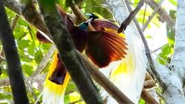 Jalan Korea, 'Rumah' Burung Cenderawasih di Papua