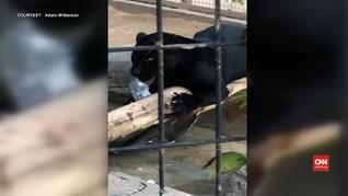 VIDEO: Jaguar Serang Pengunjung Kebun Binatang di Arizona