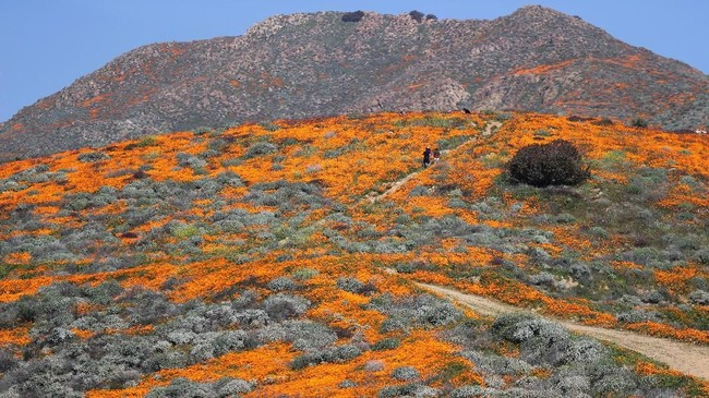 Poppy adalah sebuah tumuhan berbunga dalam subkeluarga Papaveroideae dari keluarga Papaveraceae. (REUTERS/Lucy Nicholson)