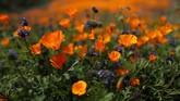Danau Elsinore, Los Angeles, mendadak 'digempur' oleh segerombolan bunga berwana jingga. Bunga tersebut bernama Poppy. (REUTERS/Lucy Nicholson)