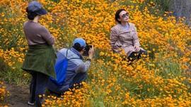 FOTO: Bunga Poppy Ceriakan California