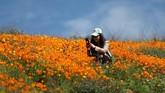 Salah satu spesies dari poppy, Papaver somniferum, menghasilkan biji-bijian pangan, dan juga merupakan sumber dari obat-obatan candu yang berisi alkaloid pengobatan yang kuat seperti morfin. (REUTERS/Lucy Nicholson)