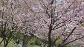 Pemandangan musim mekar Bunga Sakura di TamanStadt di Wina, Austria. (JOE KLAMAR / AFP)