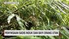 Penyiksaan Sadis Induk dan Bayi Orangutan