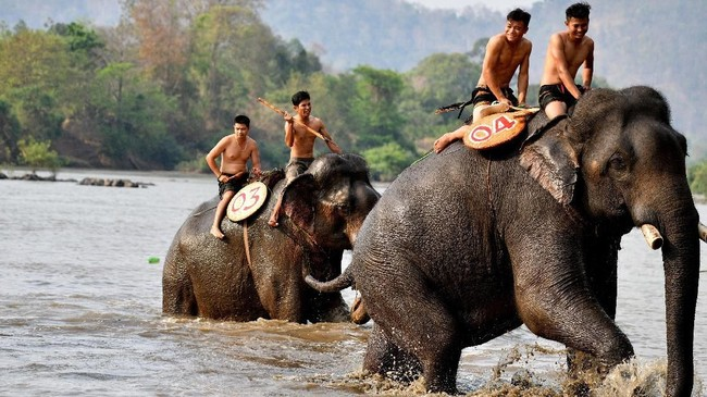 Animals Asia mencatat setidaknya da 80 gajah di Vietnam yang dikurung untuk dijadikan tunggangan di Festival Buon Don. Angka ini bukan tidak mungkin bertambah.