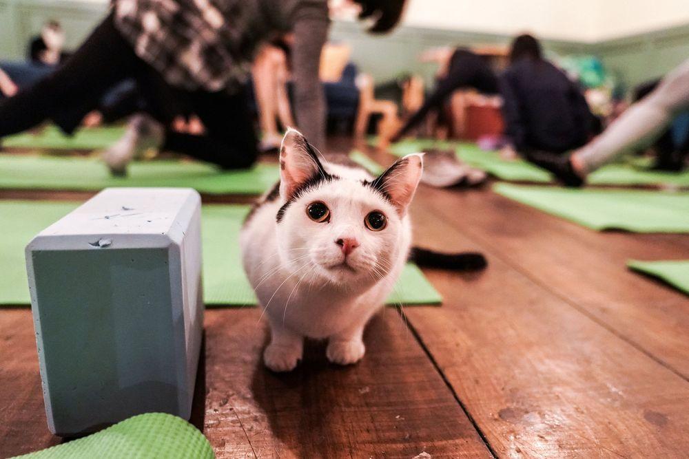 Kucing dikenal sebagai hewan yang menggemaskan dengan tingkahnya yang lucu, namun bagaimana kucing kucing jadi media untuk olahraga ? (REUTERS / Jeenah Moon)