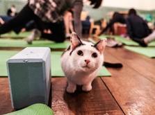 Studi COVID-19, Kucing Bisa Tularkan Virus Meski Tanpa Gejala