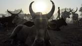 Para penduduk desa mengumpulkan hewan-hewan ternak untuk divaksinasi di desa Udier, Sudan Selatan. Vaksinasi adalah cara untuk meningkatkan kualitas hidup kawanan ternak mereka. (Photo by SIMON MAINA / AFP)