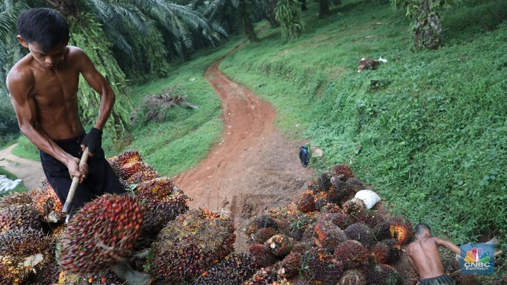 Pekerja mengangkut hasil panen kelapa Sawit di kebun Cimulang, Bogor, Jawa Barat, Jumat (15/3). Badan Pusat Statistik BPS  mengumumkan neraca Perdagangan (Ekspor-impor) Pada bulan Februari, nilai ekspor mencapai US$ 12,53 miliar, atau turun 11,33% dari tahun sebelumnya (YoY). Nilai ekspor minyak sawit sepanjang Januari-Februari 2019 hanya mencapai US$ 2,94 miliar, yang artinya turun 15,06% dibandingkan periode yang sama pada tahun 2018.  (CNBC Indonesia/Muhammad Sabki)