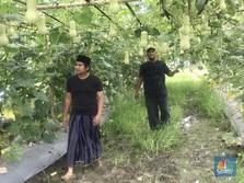 Duka Petani di Pinggiran Jakarta, Rugi Besar Saat Gagal Panen