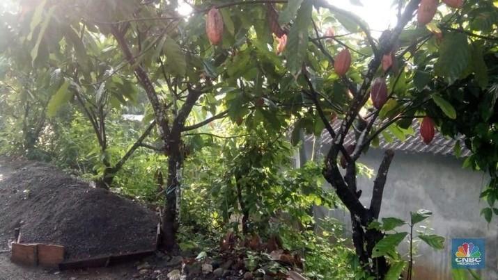 Kondisi komoditas kakao di Indonesia meningkat dari segi tren konsumsi dan tren industri.