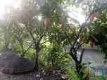 Nasib Mujur Petani Kakao yang Terus Catatkan Cuan
