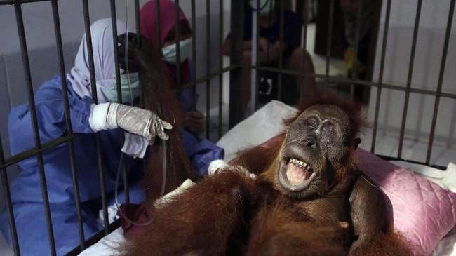 Warga desa dan penjaga kebun menjadi pelaku utama pembunuhan orangutan. Tahun lalu, empat pria asal Indonesia ditangkap karena membunuh orangutan dengan 130 kali tembakan peluru senapan angin. (AP Photo/Binsar Bakkara)