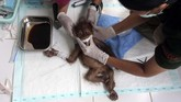 Dokter hewan terlihat sedang merawat anak orangutan betina yang bernama Brenda. (AP Photo/Binsar Bakkara)
