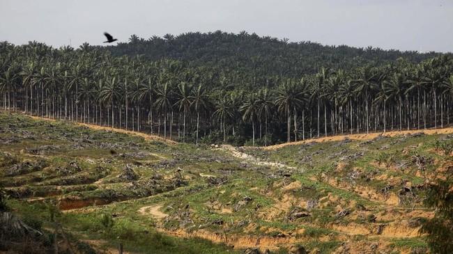 Mata pencaharian petani kelapa sawit di Kampar, Provinsi Riau tengah diserang. Ancaman bukan berasal dari serangga atau orang utan, melainkan oleh harga sawit yang anjlok. (AFP/WAHYUDI).