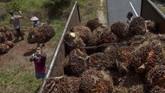 Presiden Jokowi menyarankan para petani untuk berpikir dua kali sebelum menanam kelapa sawit karena produksi kelapa sawit sudah terlampau signifikan. (AFP/Wahyudi).
