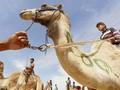 Tanpa Joki, Balap Unta di Dubai Gunakan Remote Control