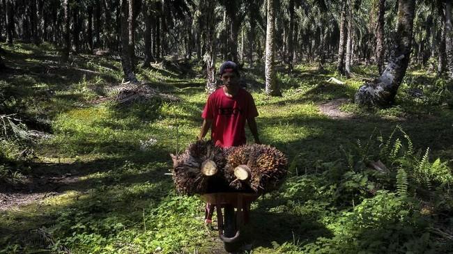 PT Asian Agri Group mengalami penurunan Rp213/Kg, dan dari PT. Citra Riau Sarana mengalami penurunan Rp136/Kg dari harga pekan lalu. (AFP/Wahyudi).