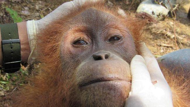 Lagi, Orangutan Diselamatkan dari Perkebunan Warga di Aceh