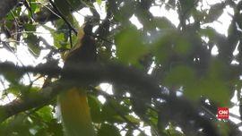 VIDEO: Wisata Burung Cendrawasih di Tambrauw