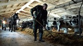 Pria yang sehari-hari bekerja memberi makan sapi di desa Slabodka, 232 km timur Minsk, memang terkenal suka