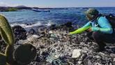 Seorang ahli biologi sekaligus petugas Taman Nasional Galapagos, Jennifer Suarez, sedang memungut sampah plastik yang menumpuk di sarang Burung Pecuk (Nannopterum harrisi).(Rodrigo BUENDIA / AFP)
