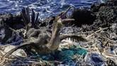 Seekor Burung Pecuk terjebak di antara tumpukan sampah yang memenuhi sarangnya. Pemandangan menyedihkan ini terlihat di Taman Nasional Galapagos.(Rodrigo BUENDIA / AFP)