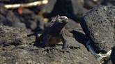 Iguana Galapagos (Amblyrhynchus cristatus) berjalan di antara tumpukan sampah plastik di pesisir Pulau Isabela, Taman Nasional Galapagos.(Rodrigo BUENDIA / AFP)