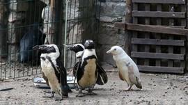 Kebun Binatang Polandia Merawat Penguin Albino