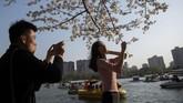 Setiadknya sekitar 18 jenis bunga Sakura ditanam di Taman Yuyuantan. (Nicolas ASFOURI / AFP)