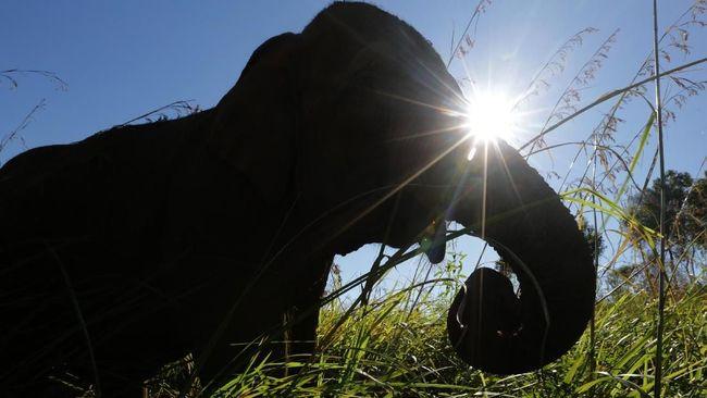 Malaysia Tahan 4 Orang Terkait Pembunuhan Gajah Kalimantan