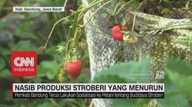 Nasib Produksi Stroberi yang Menurun