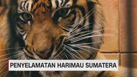 Penyelamatan Harimau Sumatera dari Perburuan