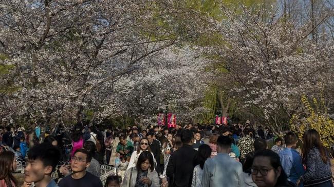 Taman Yuyuantan merupakan taman bunga Sakura terbesar di Beijing, Distrik Haidian, China Utara.(Nicolas ASFOURI / AFP)