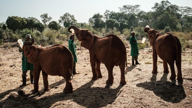 Dalam kurun 42 tahun terakhir setidaknya lebih dari 230 gajah telah kehilangan orang tuanya.