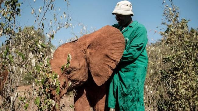 Seorang petugas penjaga gajah di David Sheldrick Wildlife Trust (DSWT),Peter Mbulu, sedang mengasuh anak gajah yang kehilangan orang tuanya.