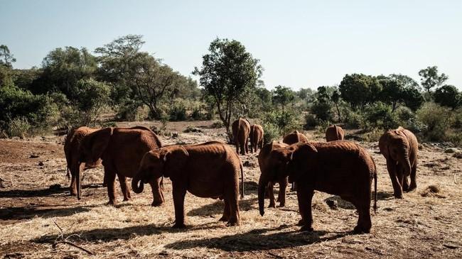 Bayi gajah yang diasuh setidaknya membutuhkan waktu tiga tahun untuk dapat hidup mandiri. Dalam tempat penampungan ini, bayi gajah akan diberi makan setiap tiga jam sekali.