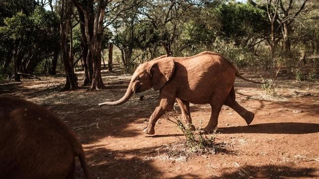 Selain konflik dengan manusia, perburuan adalah penyebab lain banyaknya gajah di Kenya yang dibantai.