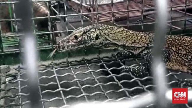 Komodo Hasil Perdagangan Ilegal Bakal Dilepas di Flores Utara